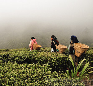 Happy tea garden